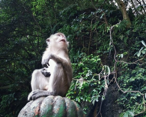 Two lessons were learned that day: 1. Learn how to focus your camera properly before taking photos 😅 and 2. Monkeys are RUDE!! 😁 Monkeys Portrait Jungle Forest Mobilephotography Sony Say Cheese! Eyeem Monkeys Animals Discover Your City Traveling Being A Tourist Batu Caves Kuala Lumpur Malaysia