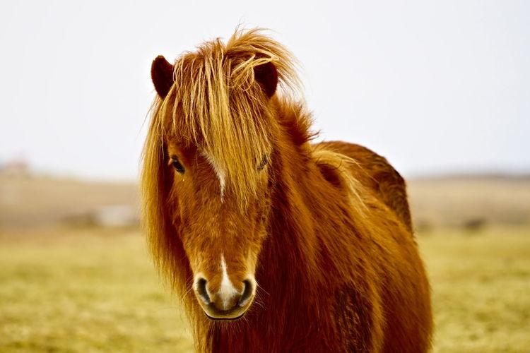 close-up of icelandic horse