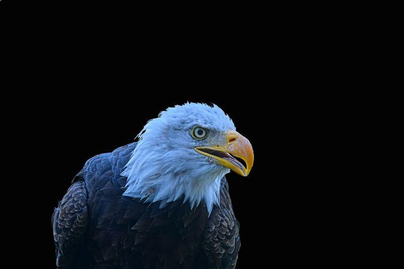 Close-up of eagle against black background