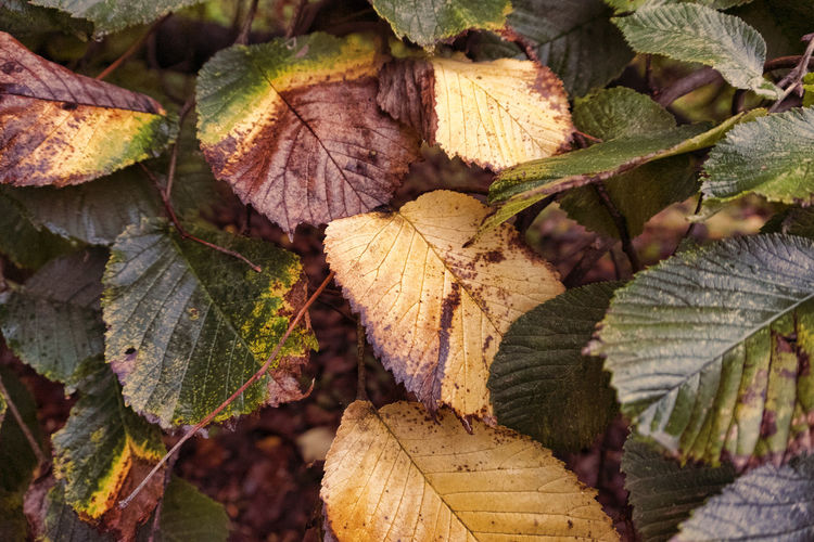 Leafs in autumn Abundance Aging Process Autumn Beauty In Nature Change Close-up Day Dry Fragility Full Frame Green Color Large Group Of Objects Leaf Leaf Vein Leaves Log Natural Condition Nature No People Outdoors Season  Tranquility