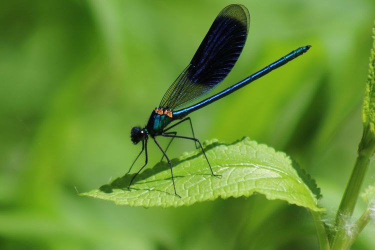 Insect Animal Themes Animals In The Wild Leaf Green Color One Animal Damselfly Nature Day Outdoors Focus On Foreground No People Close-up Plant