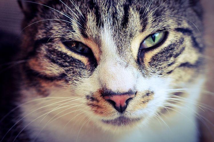 Ein Kater blickt in die Kamera. Animal Eye Animal Themes Cat Close-up Day Domestic Animals Domestic Cat Katze Katzen Looking At Camera No People One Animal Pets Portrait