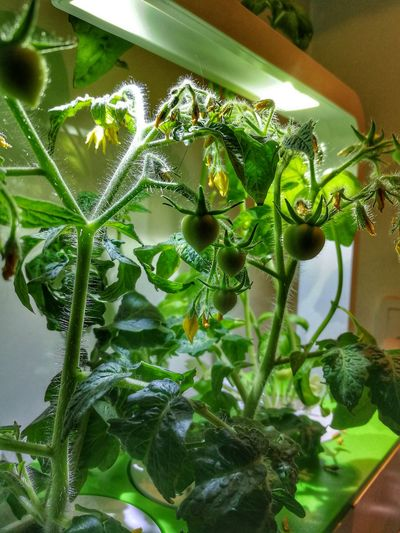 Tomatoes 🍅 Tomato Green Very Green Eco Flower Water Leaf Greenhouse Close-up Plant Green Color