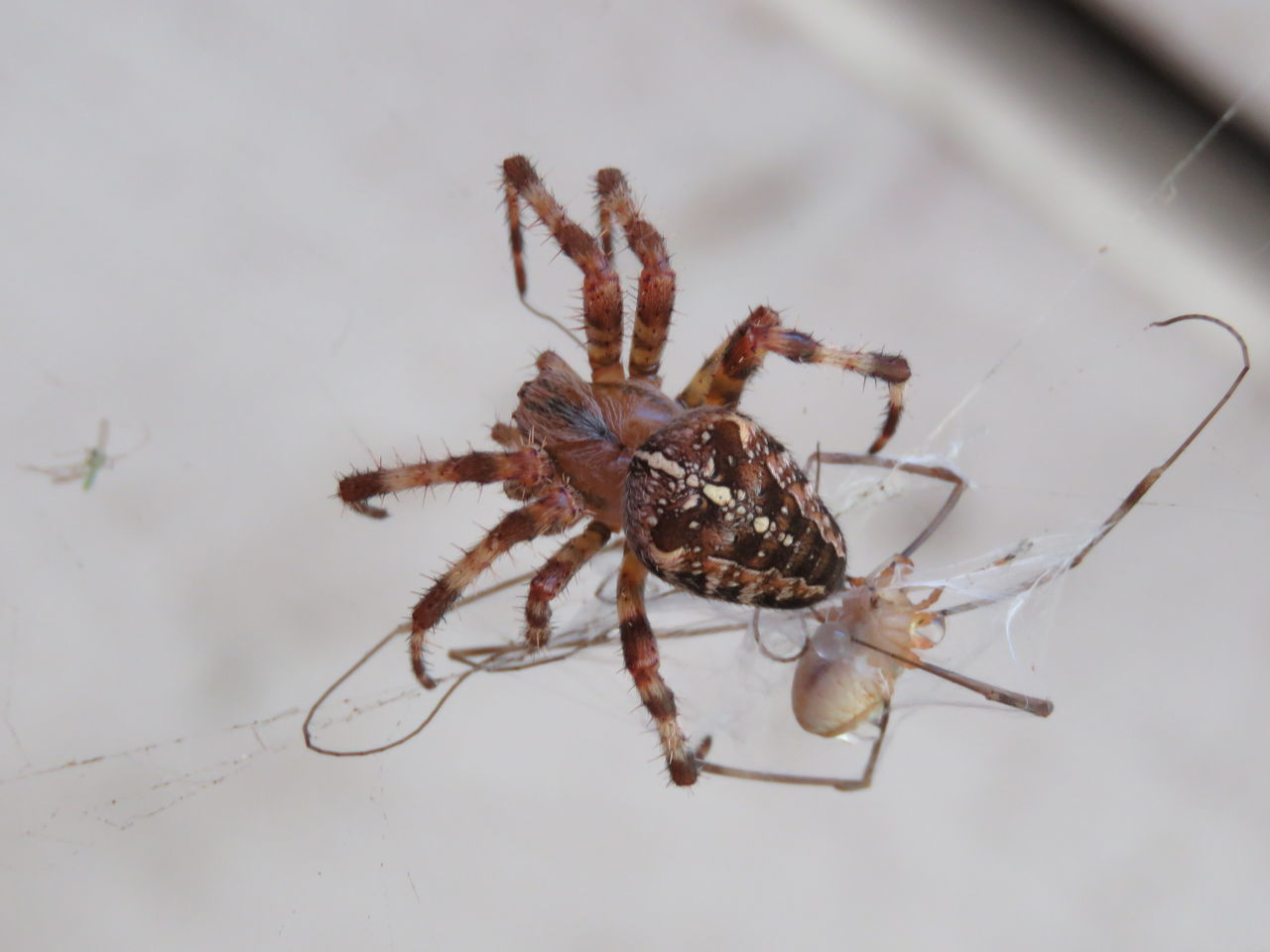spider, one animal, animal themes, animals in the wild, animal wildlife, no people, spider web, close-up, day, indoors, nature