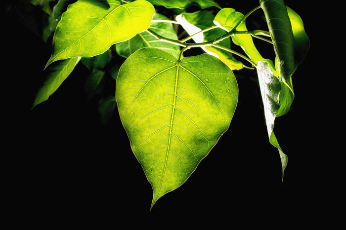 bodhi leaf Bodhi Leaf Isolated Dhamma Budhism Freshness Green Dark Growing Black Background Leaf Insect Black Color Close-up Animal Themes Green Color Plant Water Drop Stem
