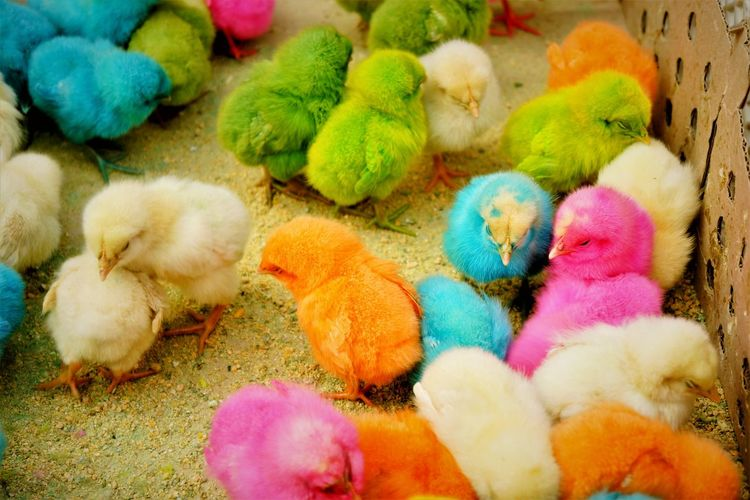 Close-Up Of Multi Colored Chicks