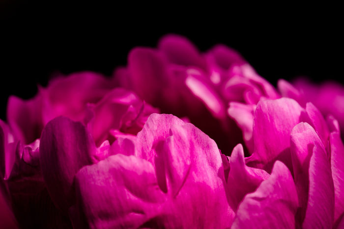 Peonies flowers close-up Beauty In Nature Black Background Blooming Blossom Close-up Detail Flower Flower Head Focus On Foreground Fragility Freshness Growth In Bloom Macro Nature No People Outdoors Petal Pink Pink Color Poenies Purple Selective Focus Softness Studio Shot