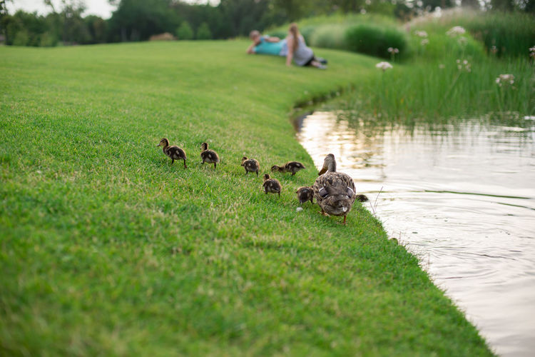Duck With Ducklings On Grassy Field By Lake