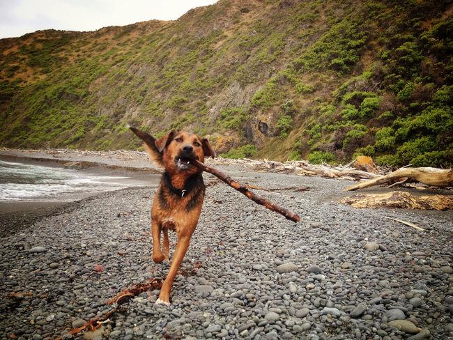 Pet Portraits Beach Dog Huntaway Mountain Pets