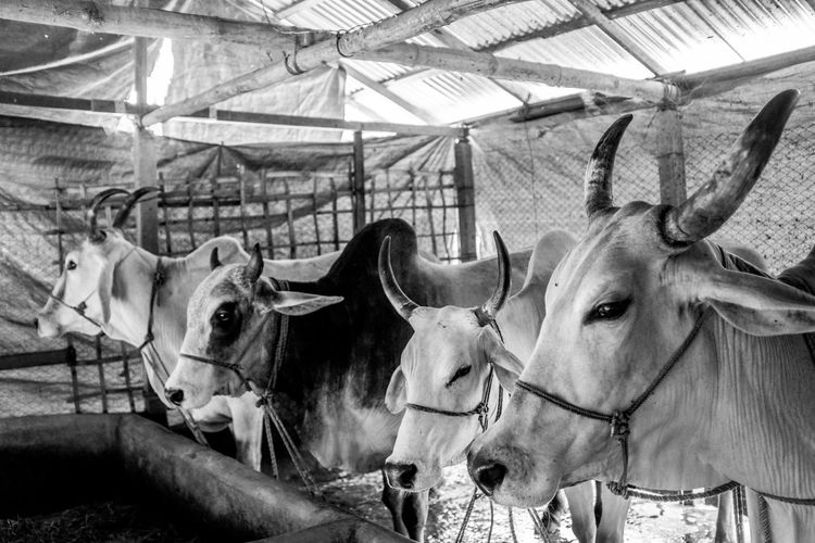 Cows lined up before Eid ul Adha, one of the biggest muslim festivals. Eid Ul Adha, Eid, Festival, Animal Animal Head  Animal Themes Animal Wildlife Cattle Cold Temperature Cow Day Domestic Domestic Animals Group Of Animals Herbivorous Herd Horned Indoors  Livestock Mammal Nature No People Pets Three Animals Vertebrate
