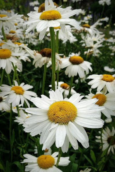More Daisies! Nikon D3200 Daisies No Filter Flower Nature Summer Landscape Untouched Photo Enjoying Life