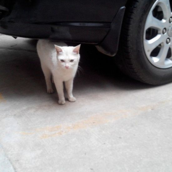 There is a white cat in my house downstairs. Cat White Cat