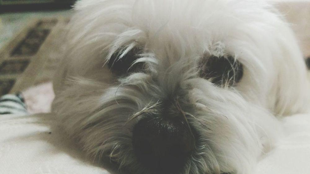 Hanging Out Maltese Dog White Dog Hello World