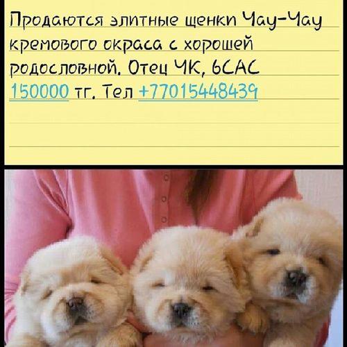 щенкичаучау чаучау продаю Продажа животные караганда астана алматы собака лучшийдруг Казахстан кремовыйокрас любимые пушистые нежные