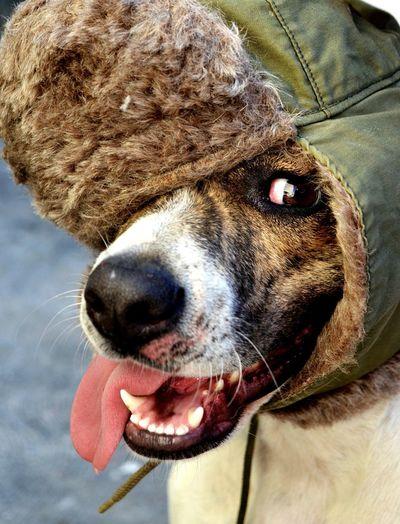 Hermosa tita. Pretty tita. Rescuedog Pets Dog❤ Adoptaunperro Adopt Don't Buy!! Adoptanocompres Photogenic  Fotogenica Pet Mascota Aviator Hat Dog Dogs Dog Love Dogslife Dogs Of EyeEm Tongue Lengua Canine