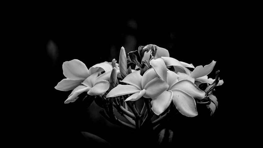 Flower Petal Flower Head Black Background Nature Close-up Beauty In Nature Garden Photography Flowers, Nature And Beauty Plumeria Flowers Plumeria Blossoms Black & White Black And White Photography EyeEm Best Shots - Black + White EyeEm Nature Lover EyeEm Gallery Focus On Foreground Plant Beauty In Nature Nature EyeEm Photograph From My Point Of View