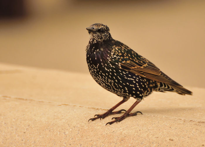 Close-up of starling