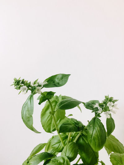 Close-Up Of Basil Against White Background