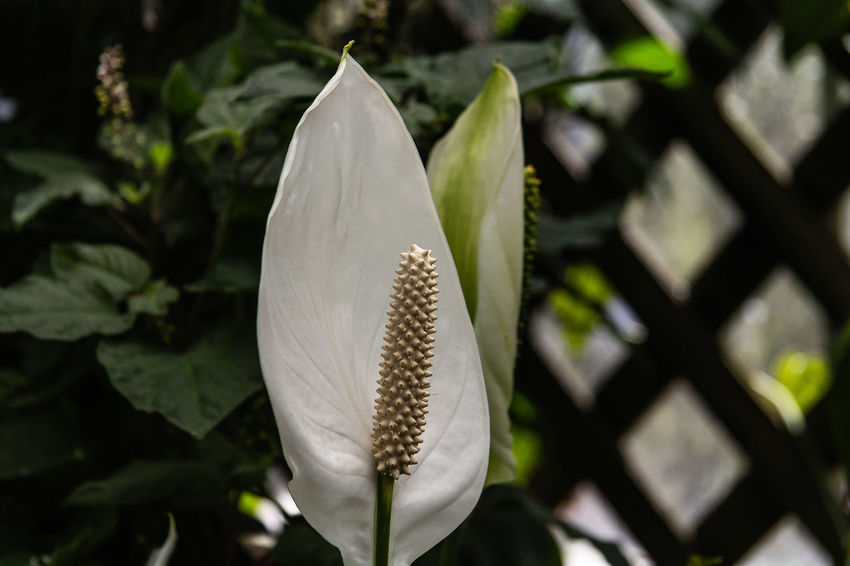 """Spathiphyllum wallisii, commonly known as peace lily, white sails, or spathe flower is a very popular indoor house plant of the family Araceae. The genus name means """"spathe-leaf"""", and the specific epithet is named after Gustav Wallis, the German plant collector. https://en.wikipedia.org/wiki/Spathiphyllum_wallisii Beauty In Nature Blooming Close-up Flower Flower Head Petal Spathiphyllum White Flower"""