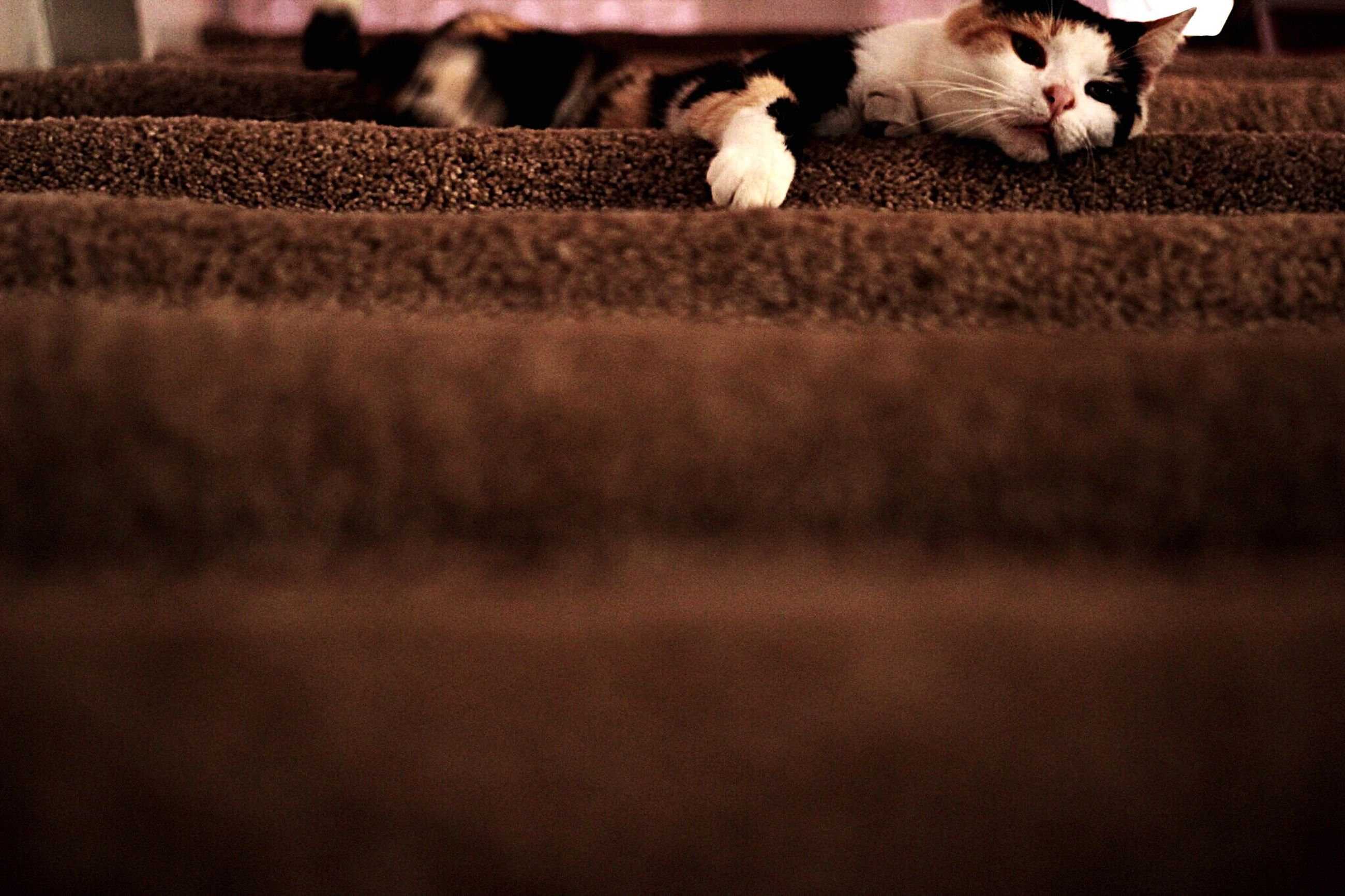 animal themes, domestic animals, one animal, pets, mammal, domestic cat, cat, feline, two animals, young animal, zoology, vertebrate, looking at camera, whisker, portrait, indoors, close-up, high angle view, relaxation, no people