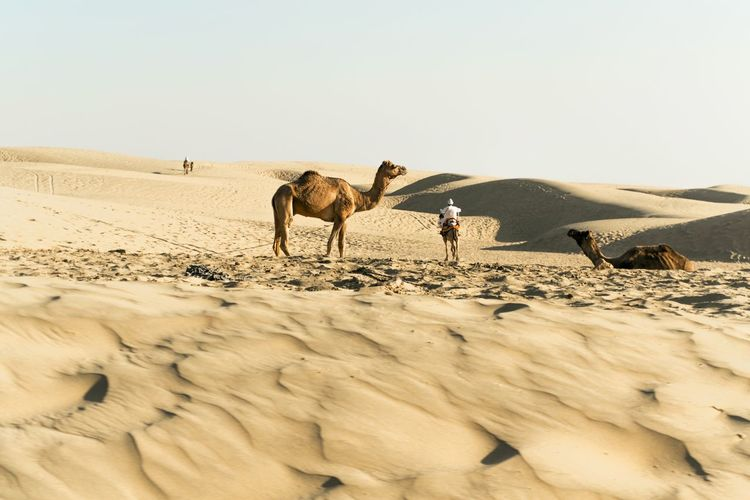 King of the desert enhancing the beauty of the desert.. Animal Themes Animal Wildlife Animals In The Wild Arid Climate Beach Beauty In Nature Camel Clear Sky Day Desert Landscape Light And Shadow Mammal Nature No People Outdoors Riding Camels Sand Sand Dune Texture Thar Desert Travel