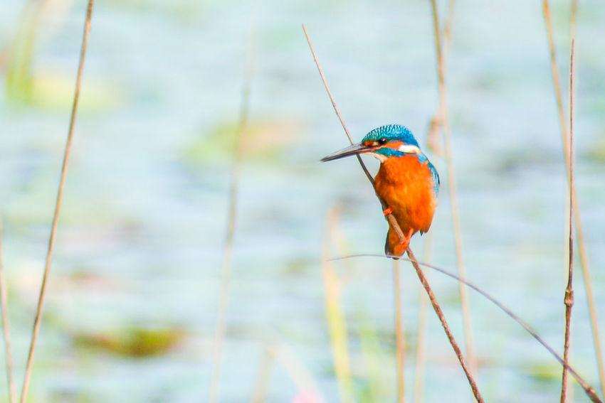 Bird Nature Beauty In Nature Eye Em Nature Lover Beauty In Nature Kingfisher Birds Of EyeEm Bird Photography Bird Watching
