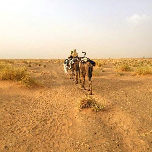 Marokko Shara Camel Horizon Over Land Landscape Camel Ride
