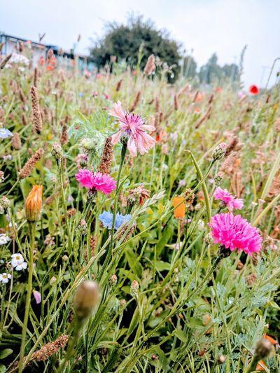 Pink Flower Lighting Medow Flower Head Flower Pink Color Poppy Uncultivated Wildflower Field Meadow Close-up Sky Blossom Pistil Crocus