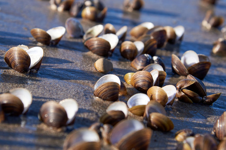 Sweetwater shells are frozen in the sand at the beach of the rhine