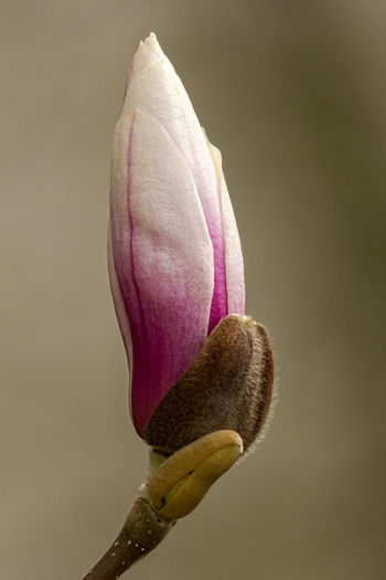 Magnolia Magnolia Magnolia Blossoms Magnolia Flower Magnolia Tree Magnolia_Blossom Magnolias Blooming Magnolie Magnolienknospe Close-up Closed Flower Head Flower Flower Head Fragility Magnolia Blossom Magnoliaceae Magnolias Magnolien Magnolienblüte Nature No People Outdoors Plant