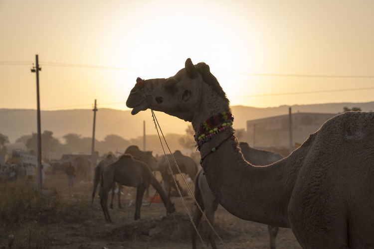 closeup image of camel stand against sunlight in morning time, Pushkar, India Animal Animal Themes Camal Day Domestic Animals Focus On Foreground Indiapictures Livestock Mammal Nature Outdoors Pushkar Silhouette Sunrise Travel Photography Working Animal Showcase July