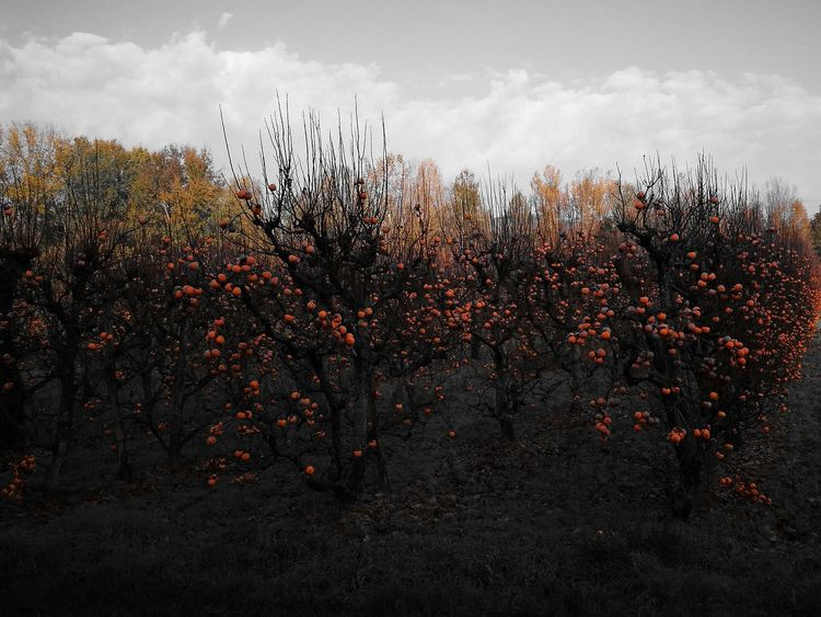 Orange Color Tree Tranquil Scene Campagna Cachi Sky