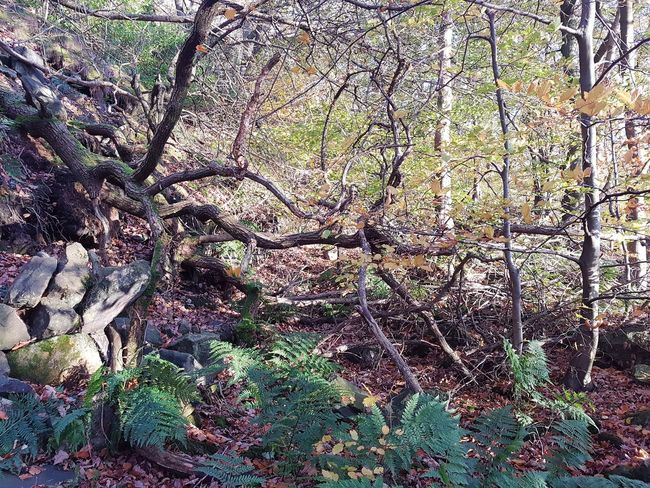 Day Full Frame Outdoors No People Growth Nature Backgrounds High Angle View Tree Plant Beauty In Nature Close-up Beauty In Nature Growth Freshness Branch Autumn Leaves Yorkshire Mytholm Eaves Wood Calderdale Autumn Fragility Leaf Forest