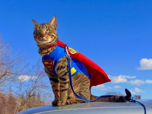 Caped Super Cat . From crazyfunnycats66 ( instagram) and Crazy Funny Cats ( youtube) 447 vids Panasonic  Cool Yeg Hawrelak Park Cute Sitting Domestic Animals Bengal Cat Tabby Cat Superheroes Wind Cape  CrazyFunnyCats Domestic Cat Domestic Animals Pets Animal Themes Sky Mammal Blue One Animal Low Angle View Outdoors Feline Day