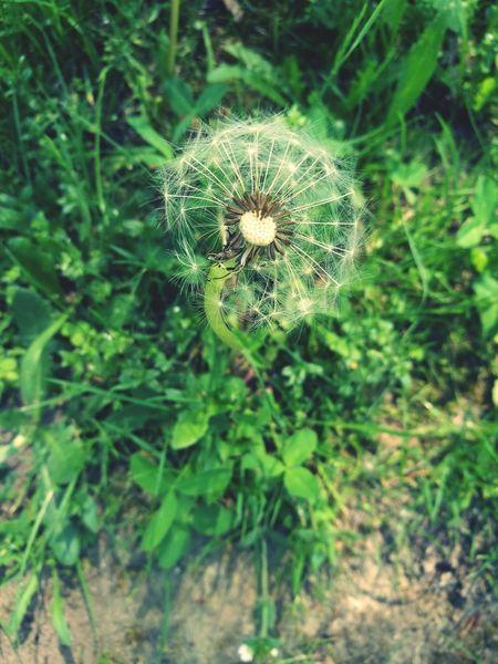 Dandelion Dandelion Seeds Dandelionfluff