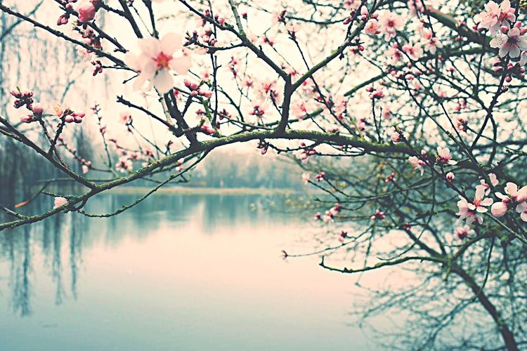 Cherry Blossom Tree By Lake During Foggy Weather