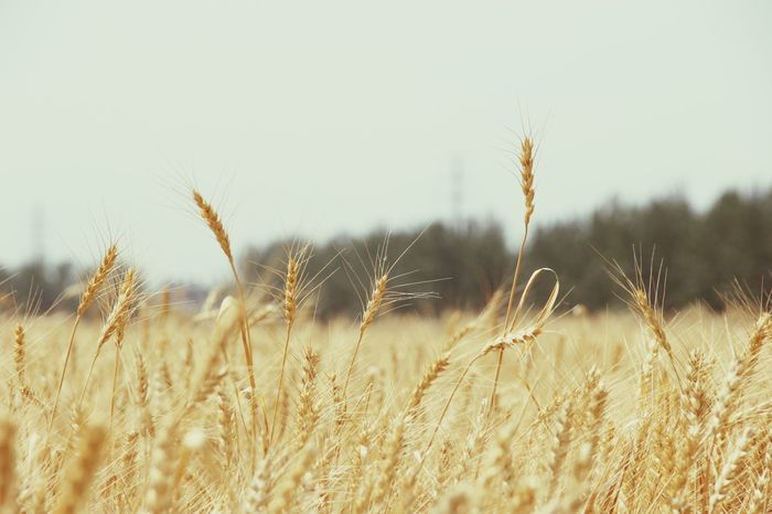 Rural Scene Cereal Plant No People Growth Wheat Field
