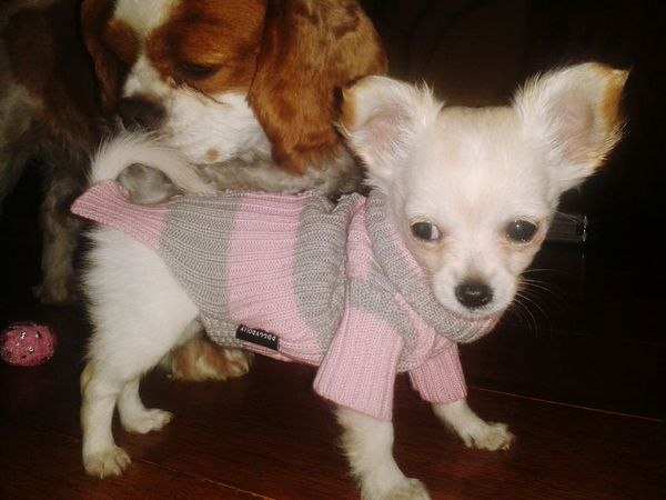 Chihuahuas<3 Chihuahua Doglife Chihuahua Puppies I Love My Dog Dogs Dogs Dogs Cavalier King Charles Spaniel Dogs SweetLe Doggies Dog❤