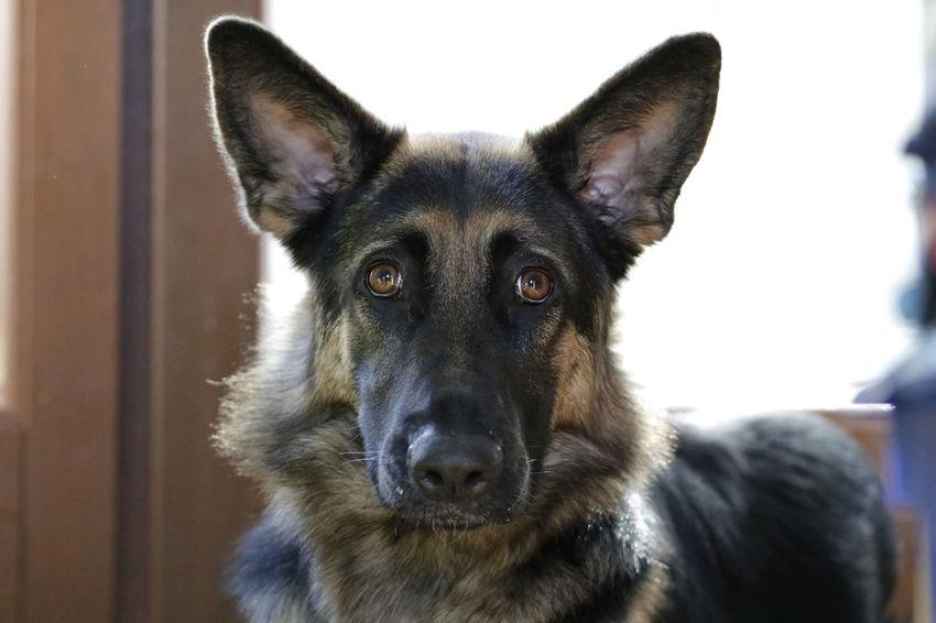 Pets Portrait Dog Looking At Camera German Shepherd Ear Close-up Animal Nose Animal Eye Animal Face Nose Eye
