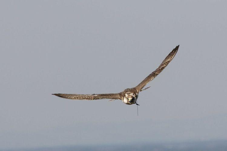 Hawk flying against sky