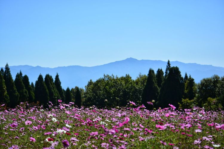 Purple flowering plants by mountains against clear sky