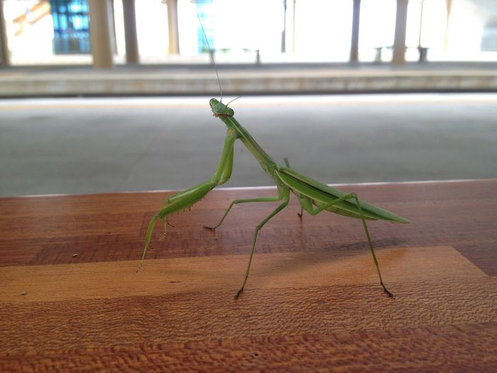 Mantis Animals In The Wild Day No People One Animal Indoors  Insect Close-up