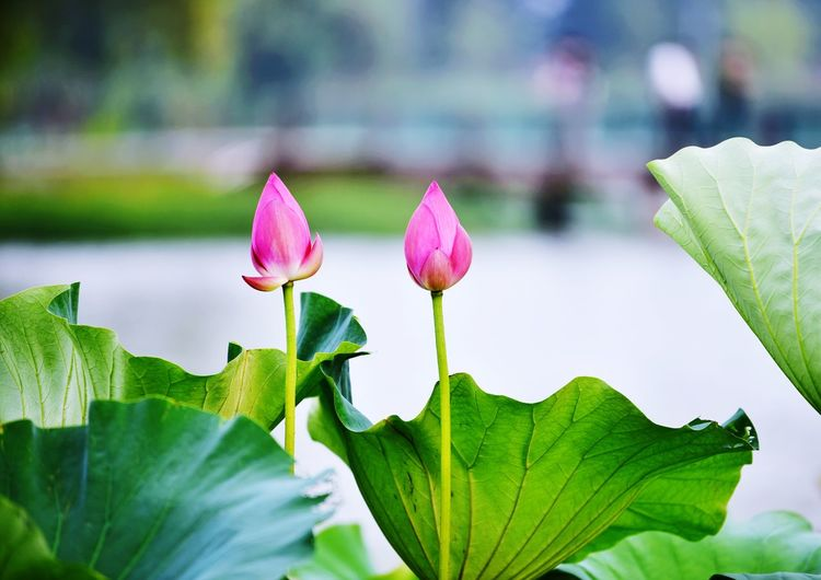 EyeEm Selects Flower Flowering Plant Plant Plant Part Beauty In Nature Leaf Freshness Vulnerability  Fragility Growth Close-up Petal Pink Color Nature Inflorescence Green Color Water Lily Flower Head Focus On Foreground Day