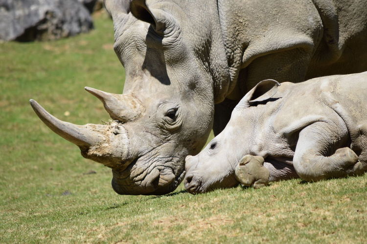 mom and baby Rhinoceros Animal Themes Animal Wildlife Animals In The Wild Baby Close-up Day Field Grass Mammal Nature No People Outdoors Rhinoceros