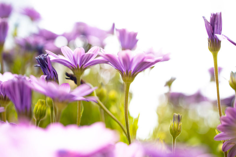 Flowers Flower Flowering Plant Plant Beauty In Nature Vulnerability  Fragility Freshness Growth Close-up Selective Focus Petal No People Nature Purple Field Flower Head Outdoors Day Focus On Foreground Land Low Angle View Canoneosr EosR Backlight Backlighting