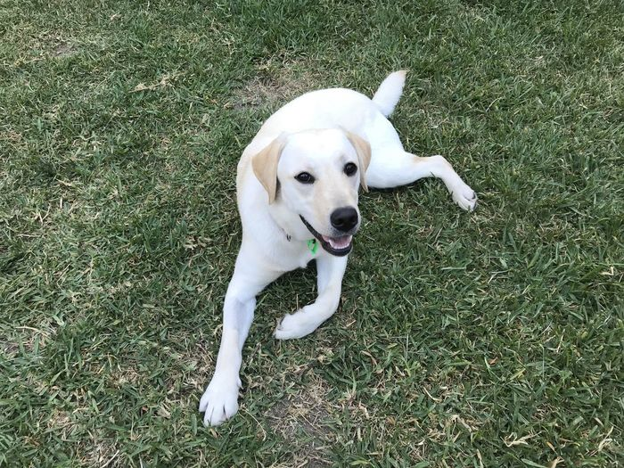 One Animal Domestic Animals Dog Canine Mammal Pets Domestic Animal Themes Animal Grass High Angle View Green Color No People Field Day Land Nature White Color Mouth Open Labrador Grass Puppy Lying Down
