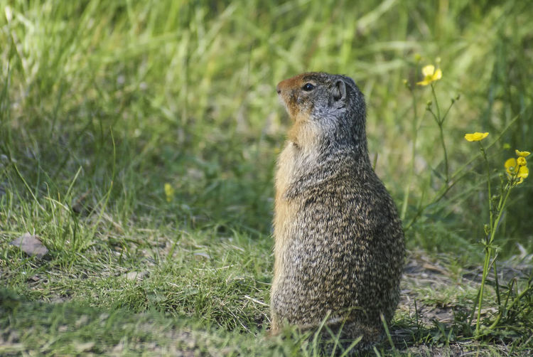 Canadian groundhog Canada Alberta Groundhogs Wildlife & Nature Wildlife Nature Groundhog Wildlife Photography Grass Close-up