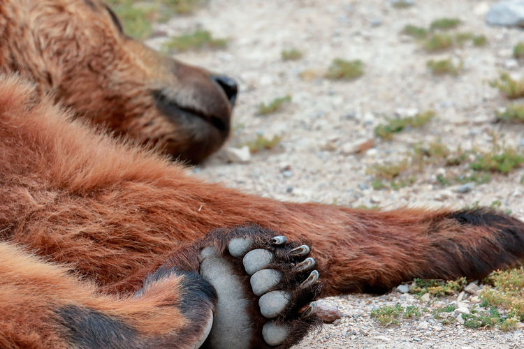 Close-up of brown bear relaxing on field