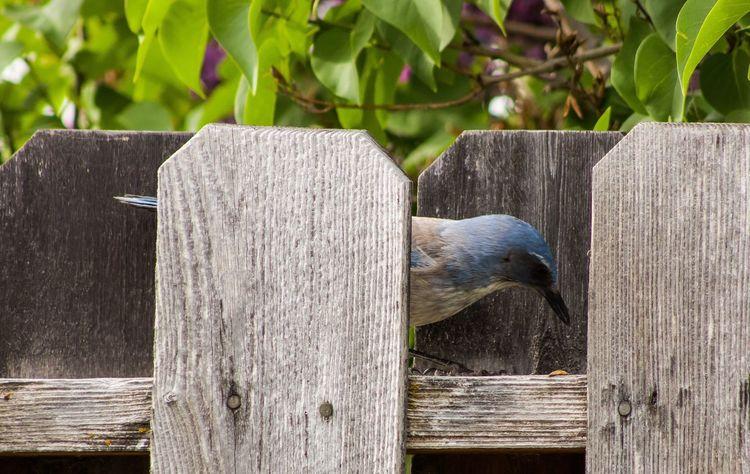 Bird Scrubjay Fence Woodfence Bird Feeding Bird Watching
