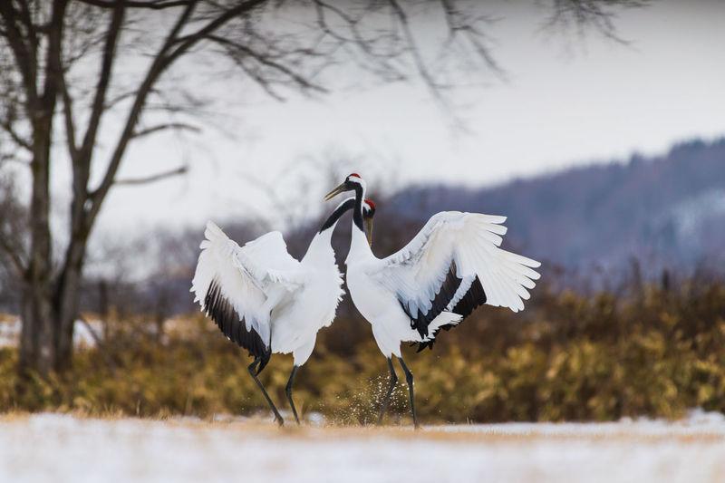 Cranes on field